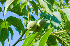 Green walnuts are growing on the tree. Stock Photos