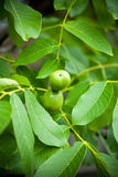 Green walnuts growing on a tree Stock Photo