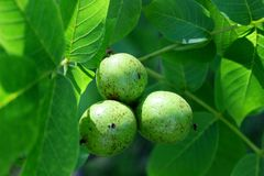Green walnuts growing on a tree, spring season Royalty Free Stock Photo