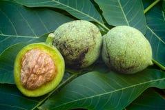 Green walnuts (Juglans regia) Stock Photography