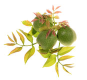 Green walnuts with leaves Royalty Free Stock Photos