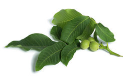 Green walnuts and leaves Royalty Free Stock Photos