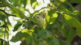 Green walnuts in green leaves on the tree. The sun`s rays appear through the branches with the walnut. Slow motion stock video