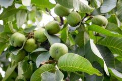 Green walnuts ripen on the tree. Growing of walnuts_ stock photos