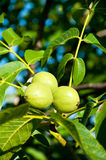 Green walnuts on a tree Royalty Free Stock Photography