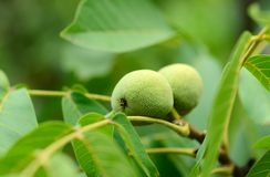 Green walnuts on a tree branch Stock Image