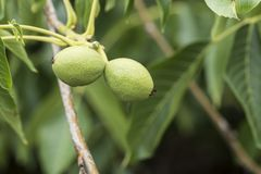 Green walnuts in tree. A walnut is the nut of any tree of the genus Juglans particularly the Persian or English walnut, Juglans regia. Technically a walnut is royalty free stock image