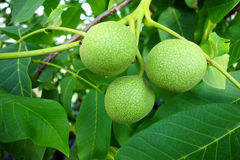 Green walnuts Royalty Free Stock Photo