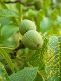 Green walnuts on the tree Royalty Free Stock Photos
