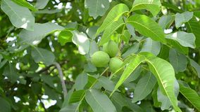 Green Walnuts in Tree. Some green walnuts in tree. Walnuts are rounded, single-seeded stone fruits of the walnut tree. The walnut fruit is enclosed in a green stock video footage