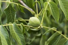 Green walnuts in tree. A walnut is the nut of any tree of the genus Juglans particularly the Persian or English walnut, Juglans regia. Technically a walnut is royalty free stock photo