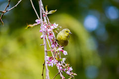Green warbler bird perched on branch trailing pink blossoms stock image