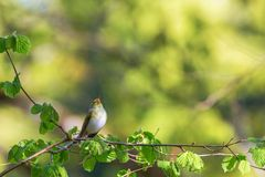 Green Warbler singing in a tree Royalty Free Stock Image