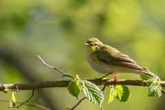 Green Warbler Stock Photo
