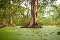 Green water algae at bird sanctuaries lake Stock Image