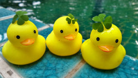 Green Water Clover on yellow duck family dolls. Green Water Clover on yellow duck family royalty free stock photos