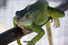 Green water dragon. Royalty Free Stock Photo