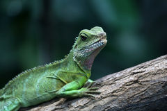 Green water dragon Stock Photo