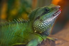 Green Water Dragon Royalty Free Stock Photo