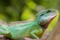 Green water dragon on a branch royalty free stock image