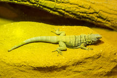 Green Water Dragon Stock Images