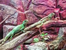 Green water dragons. In a terrarium in the Budapest Zoo, Hungary Royalty Free Stock Photo