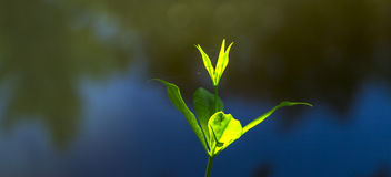 Green water flower with dark background Royalty Free Stock Photo