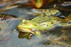 Green water frog. Detail view of a large green water frog stock photography