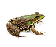 Green water frog Stock Photo
