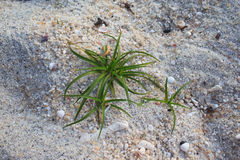 Green water grass plant on white sand Royalty Free Stock Images