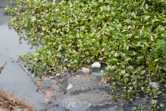 Green water hyacinth. Royalty Free Stock Photos