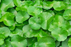 Green water hyacinth leaves royalty free stock photos