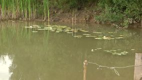 Green water in the lake. Turbid water. On the leaves sit frogs. stock video footage