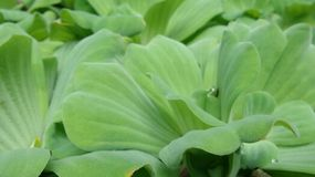 Green water lettuce in the pond Stock Image