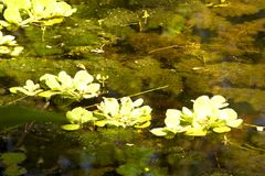 Water-lilies in the swamp royalty free stock photos