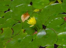 Green water lillies with a yellow flower. Close up at daytime on a lake stock photo