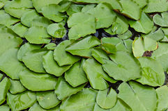 Green Water Lilly or Lotus Leaves. Green Background of Water Lilly or Lotus Leaves stock photo