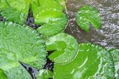 Green water lily leaf Royalty Free Stock Photos