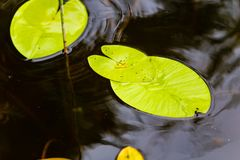 Green water lily leaves macro view royalty free stock image