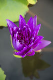 Green water lily, lotus Royalty Free Stock Photography