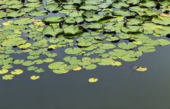 Green water lily pads floating in pond Royalty Free Stock Images