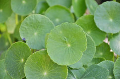 Green water pennywort leaves Royalty Free Stock Photos