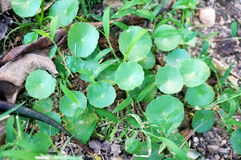 Green Water pennywort leaves Stock Photo