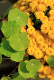 Green water pennywort plant leave and yellow chrysanthemum flowers. Royalty Free Stock Photo