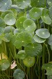 Green water pennywort plant in nature garden Stock Images