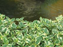 Green water plant. And  water pond Stock Photos