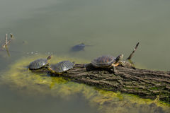 Green water turtles on the log at old morass Royalty Free Stock Photography