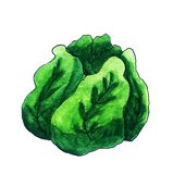 Green Watercolor Cartoon Cabbage stock illustration