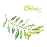 Green watercolor olive branch. On white background Stock Photo