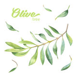 Green watercolor olive branch Stock Photography